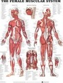 The Female Muscular System Anatomical Chart